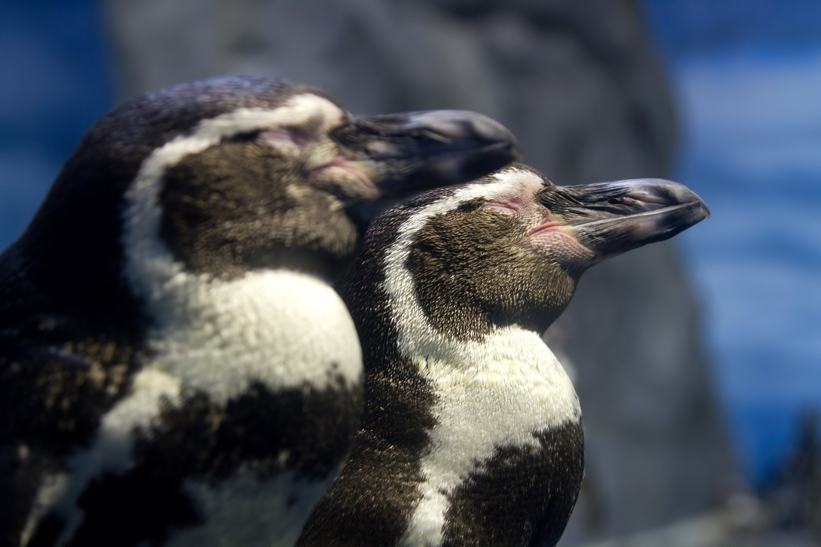 「立ったまま寝ている二匹のペンギン」の写真
