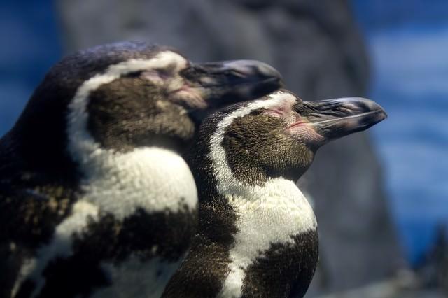 立ったまま寝ている二匹のペンギンの写真