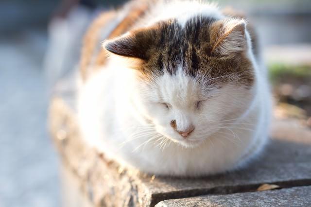ウトウトして目を閉じる猫