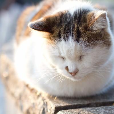 ウトウトして目を閉じる猫の写真