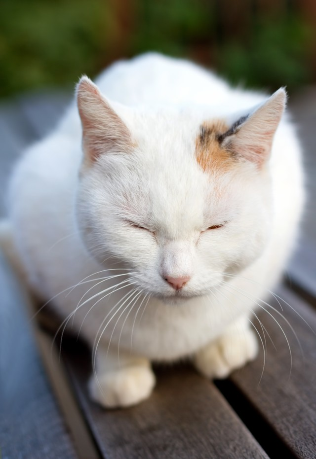 ベンチで丸くなる白い猫ちゃんの写真