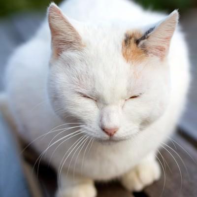 「ベンチで丸くなる白い猫ちゃん」の写真素材
