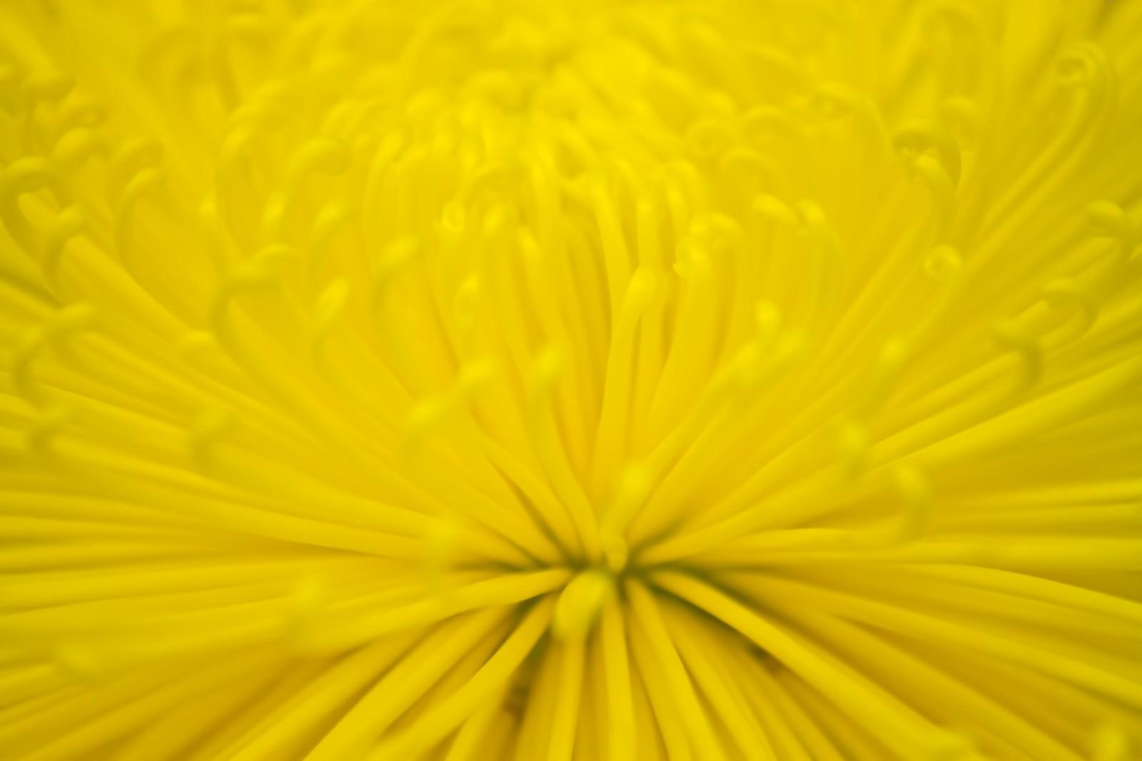 「黄色い菊の花」の写真