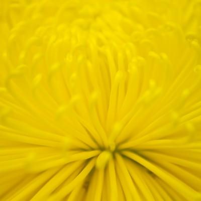 「黄色い菊の花」の写真素材