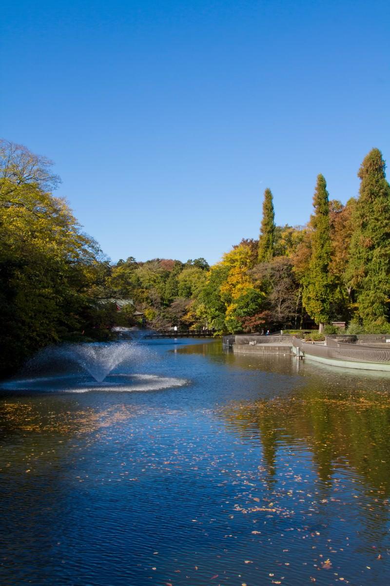 「黄葉が始まった井の頭公園」の写真