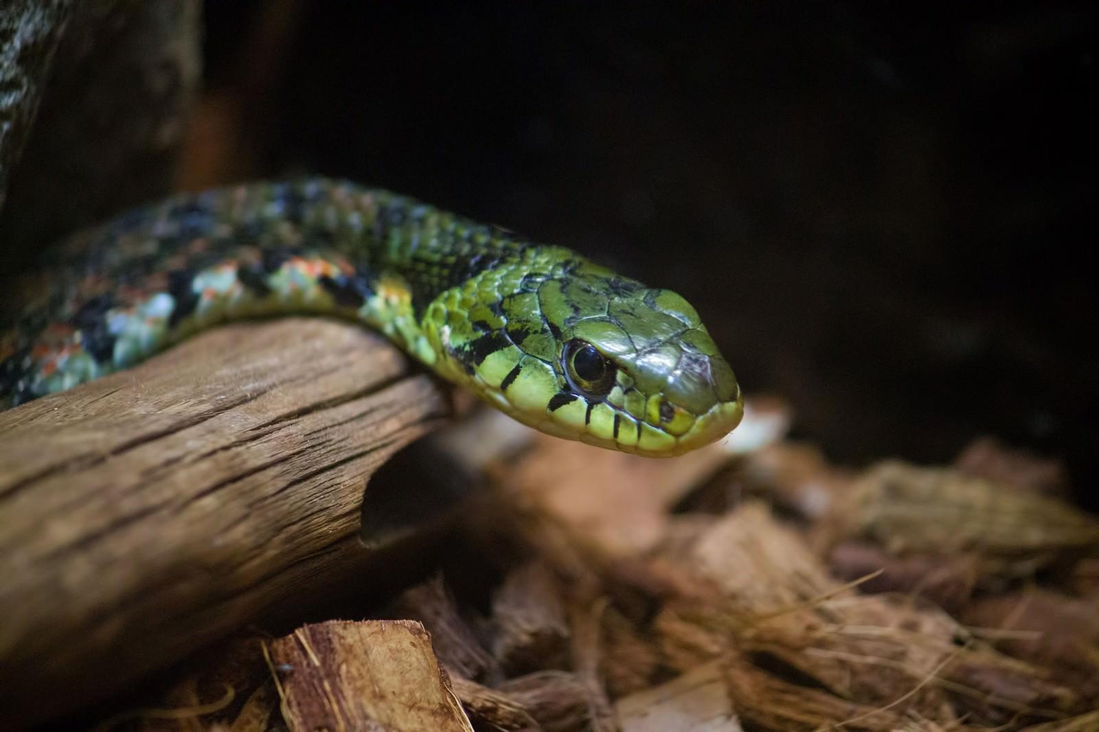 「ヤマカガシ(蛇)」の写真