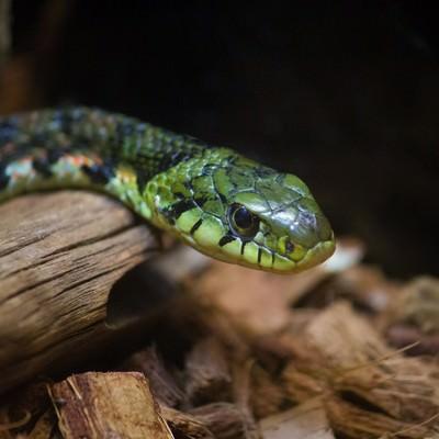 ヤマカガシ(蛇)の写真