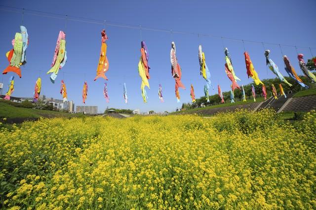 菜の花と鯉のぼりの写真