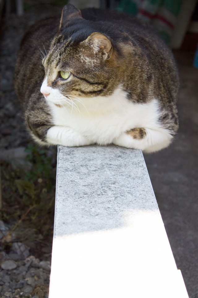香箱座りのぽっちゃり猫の写真