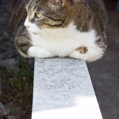 「香箱座りのぽっちゃり猫」の写真素材