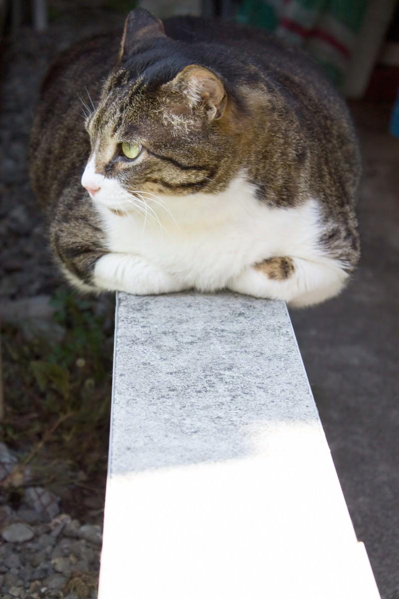 「香箱座りのぽっちゃり猫」の写真