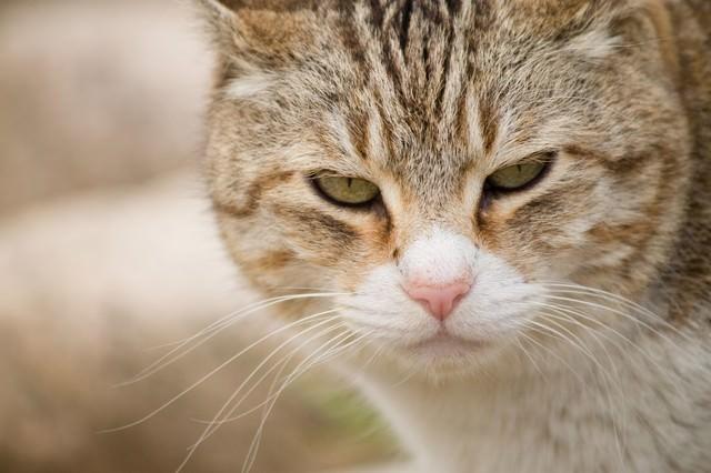 こちらを睨みつける猫の写真