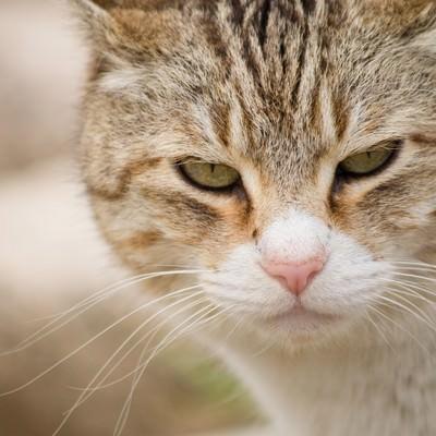 「こちらを睨みつける猫」の写真素材