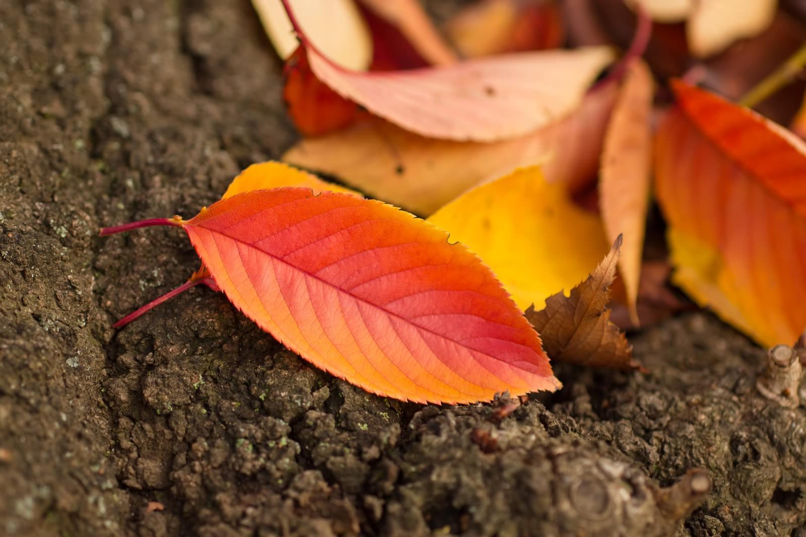 「黄葉した落ち葉」の写真
