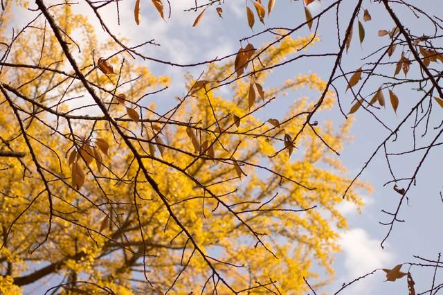 枯葉と黄色く色づいた銀杏の写真