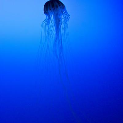 優雅なクラゲの写真