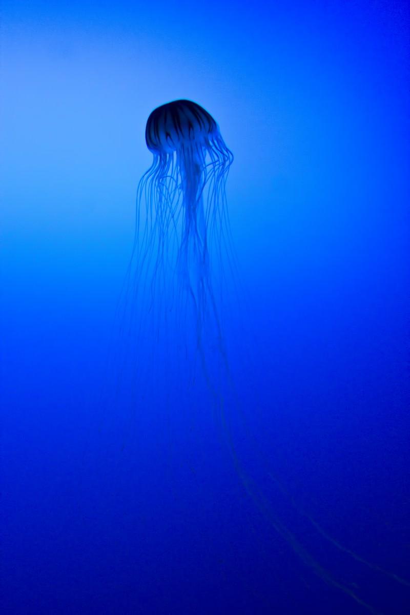 「優雅なクラゲ」の写真