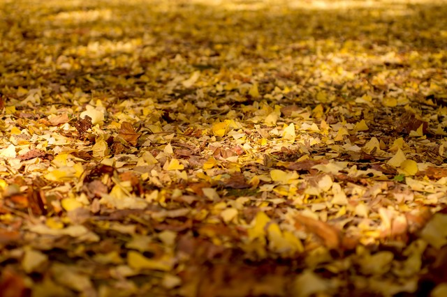 銀杏の落ち葉の写真