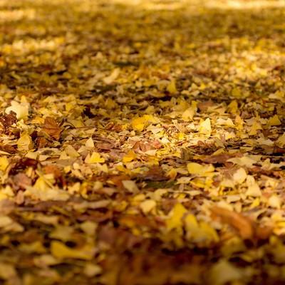 「銀杏の落ち葉」の写真素材