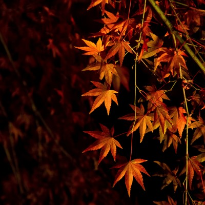 ライトアップされた紅葉の写真