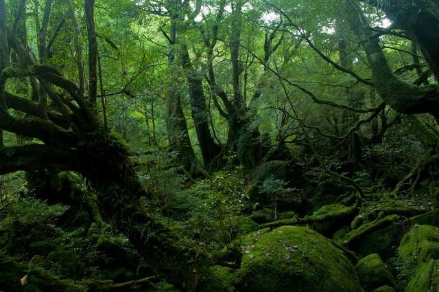 「屋久島の深い森」のフリー写真素材