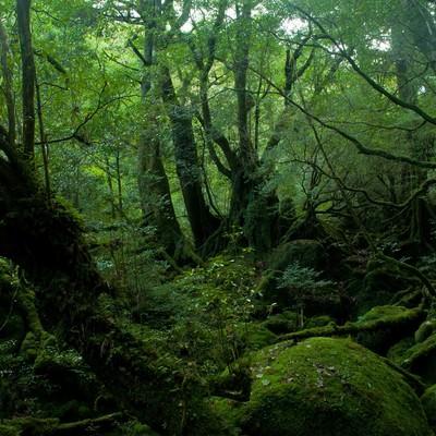 「屋久島の深い森」の写真素材