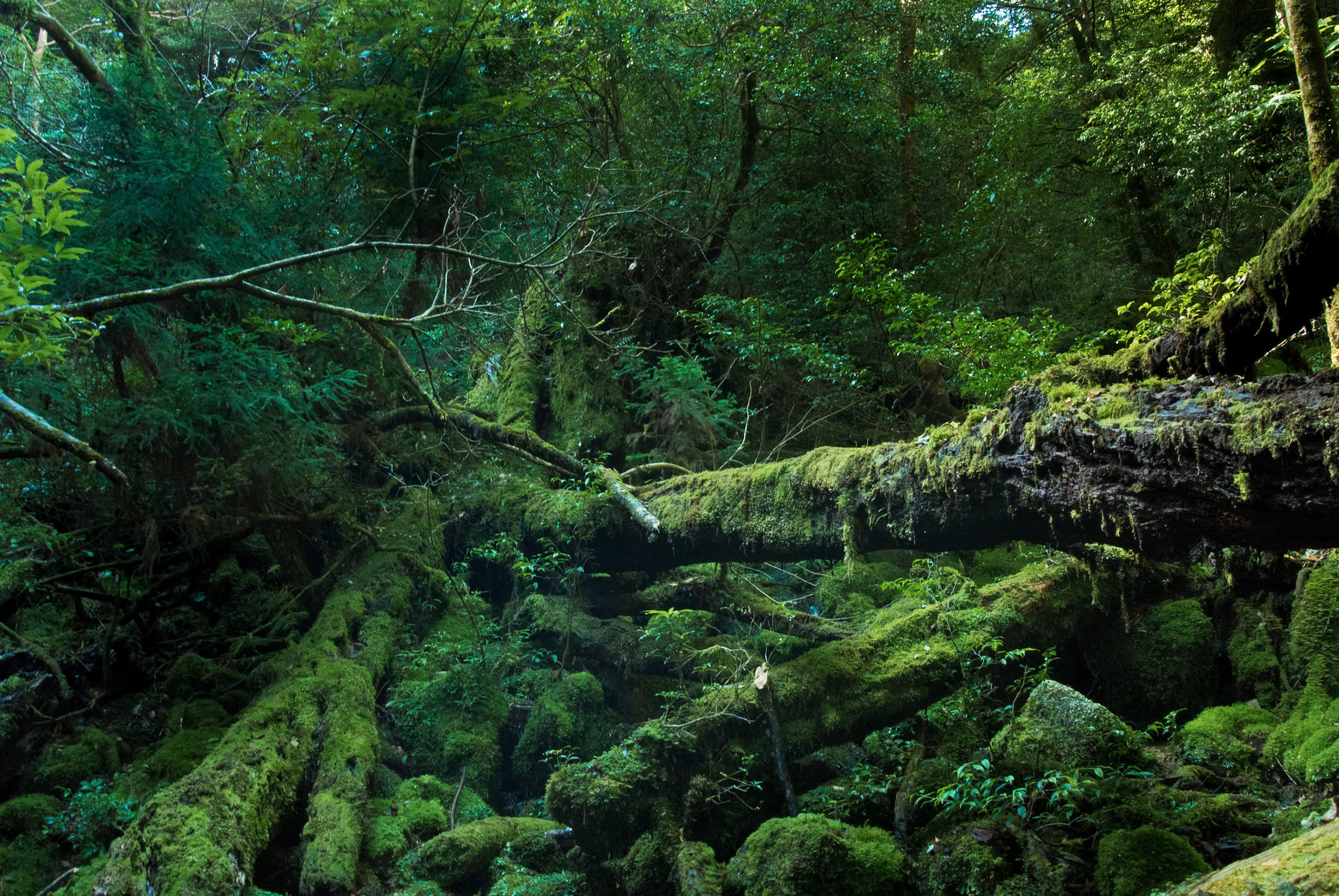 屋久島の折れた巨木とコケのフリー画像(写真)