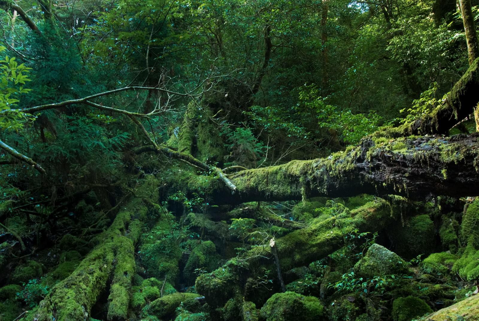 「屋久島の折れた巨木とコケ」の写真
