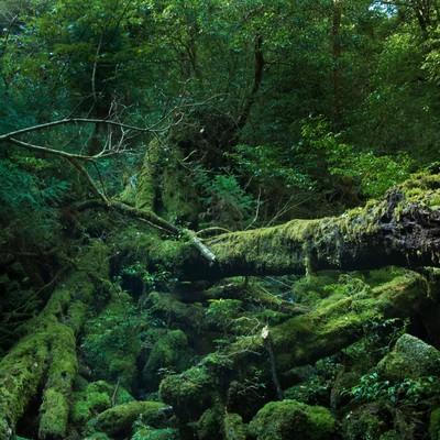 「屋久島の折れた巨木とコケ」の写真素材