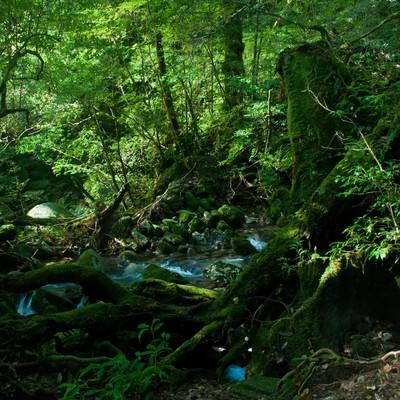 屋久島の森と小川の写真