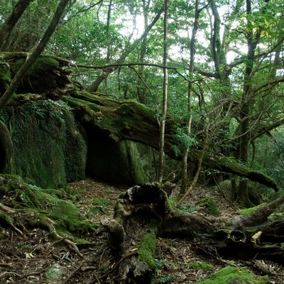 「屋久島の森と折れた木々」の写真素材