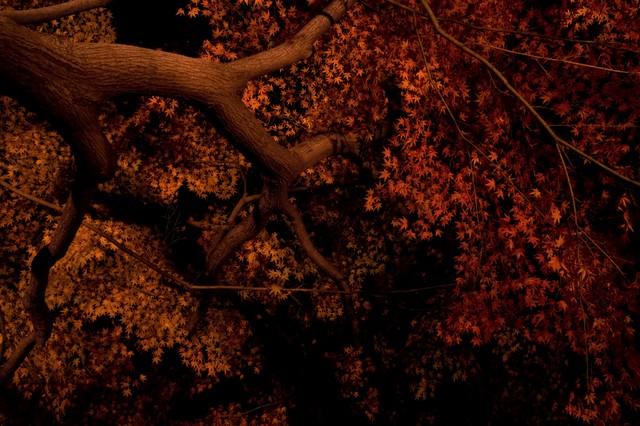 ライトアップされた夜の黄葉の写真