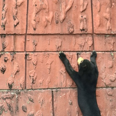 「壁にぶらさがるマレー熊」の写真素材
