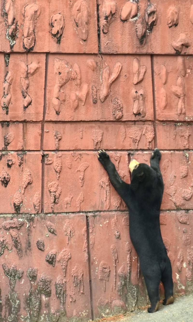 「壁にぶらさがるマレー熊」の写真