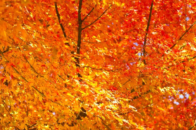 オレンジ色に黄葉の写真