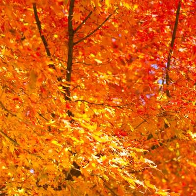 「オレンジ色に紅葉する葉」の写真素材