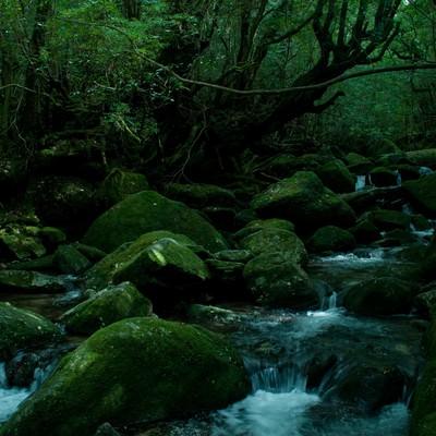 「屋久島の深い森と川の流れ」の写真素材