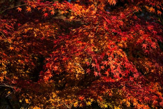 鮮やかにライトアップされた黄葉の写真