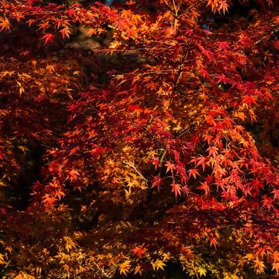 「鮮やかにライトアップされた紅葉」の写真素材