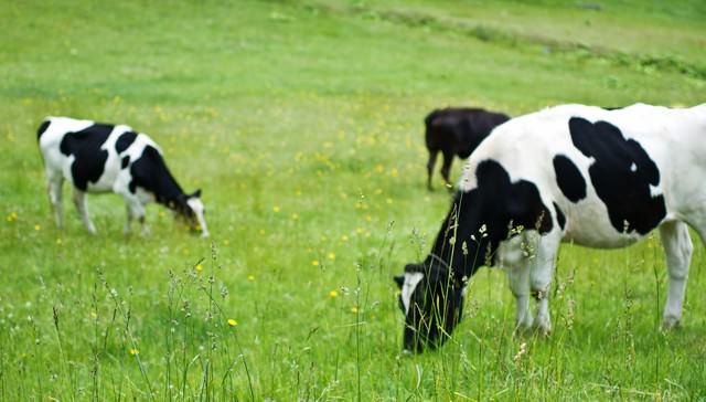 放牧される白黒牛の写真