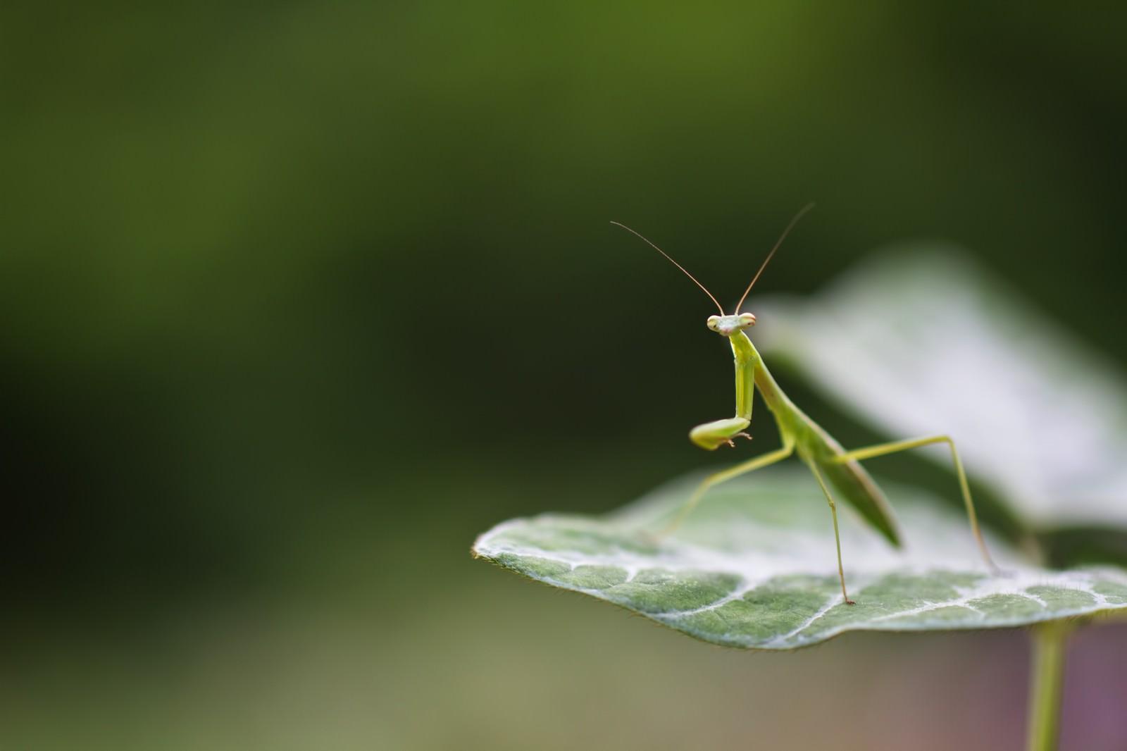 「身構えるカマキリ」の写真
