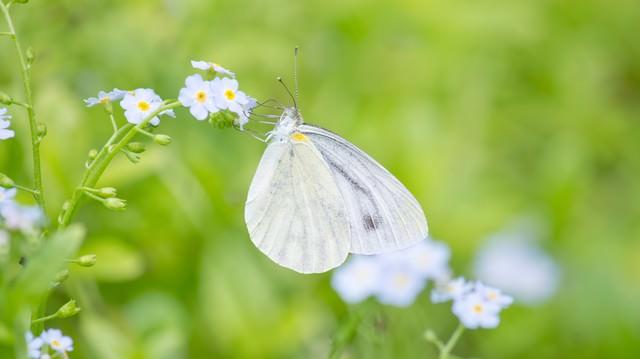 蜜を吸う紋白蝶の写真