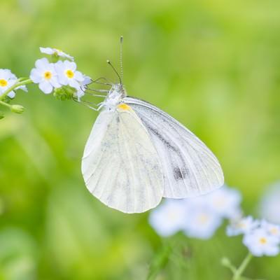 「蜜を吸う紋白蝶」の写真素材