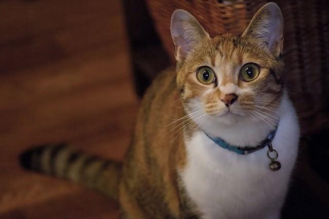こちらを見つめる美人猫の写真