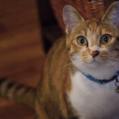 「こちらを見つめる美人猫」の写真素材