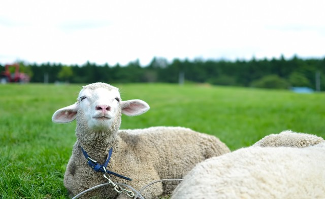空を見上げる羊さんの写真