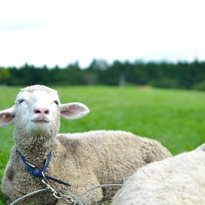 「空を見上げる羊さん」の写真素材
