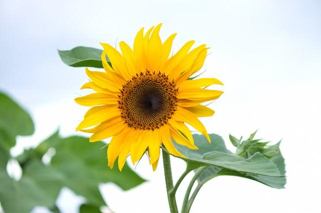 太陽の形のひまわりの写真