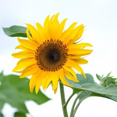 「太陽の形のひまわり」の写真素材
