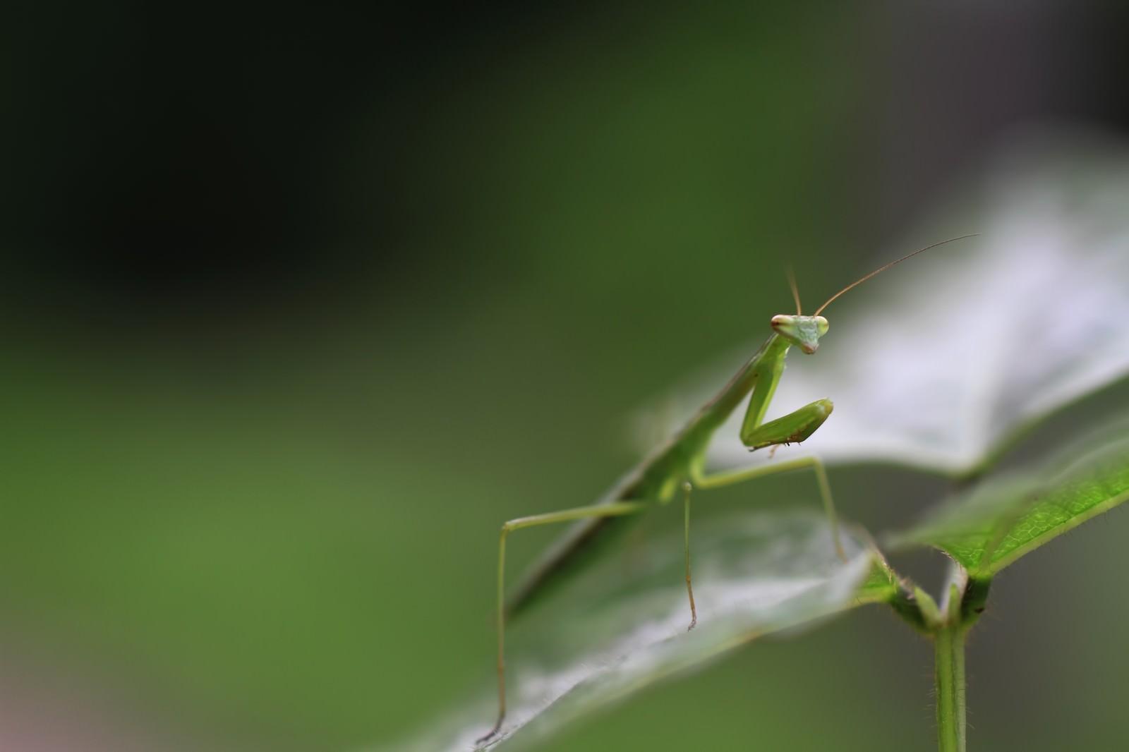 「葉の上で待ち構える蟷螂」の写真